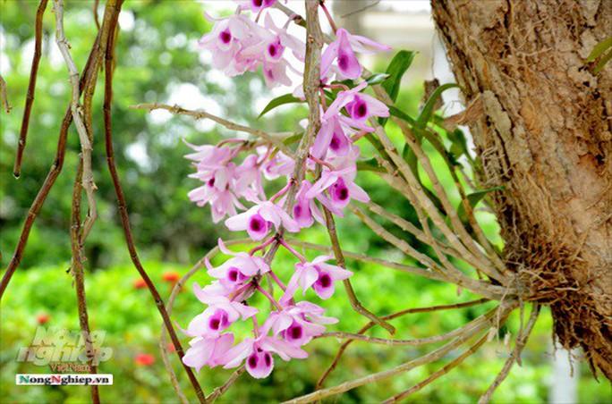 Ngỡ ngàng với khu vườn lan cổ thụ ở Tuyên Quang - Ảnh 3.
