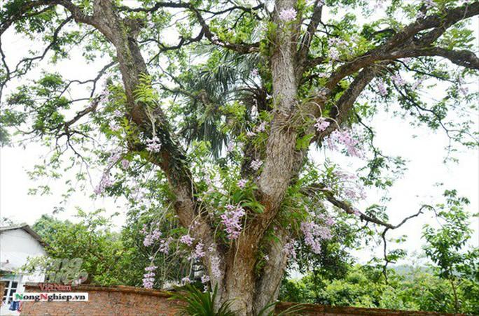 Ngỡ ngàng với khu vườn lan cổ thụ ở Tuyên Quang - Ảnh 2.