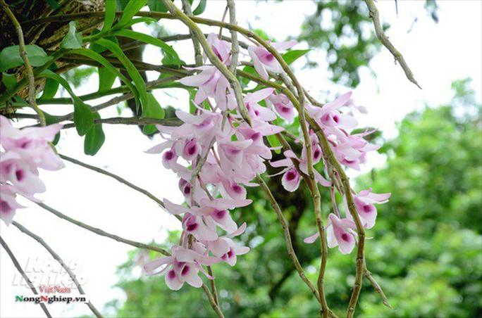 Ngỡ ngàng với khu vườn lan cổ thụ ở Tuyên Quang - Ảnh 4.