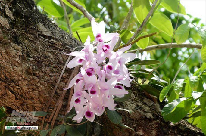 Ngỡ ngàng với khu vườn lan cổ thụ ở Tuyên Quang - Ảnh 5.