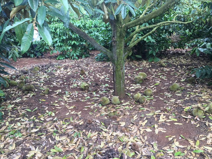 Xót xa nhìn vườn sầu riêng hàng trăm triệu đồng rụng trái, nghi bị đầu độc - Ảnh 2.