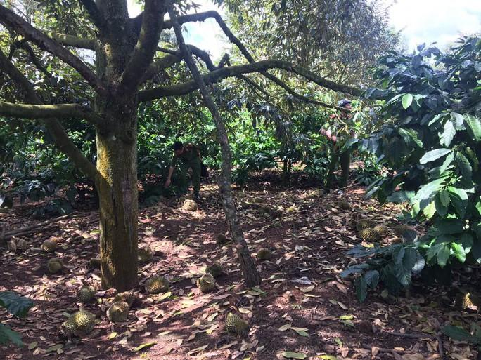 Xót xa nhìn vườn sầu riêng hàng trăm triệu đồng rụng trái, nghi bị đầu độc - Ảnh 1.