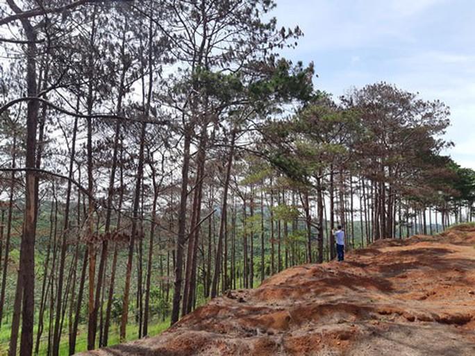 Hàng ngàn hecta rừng thông phòng hộ chết đứng - Ảnh 1.