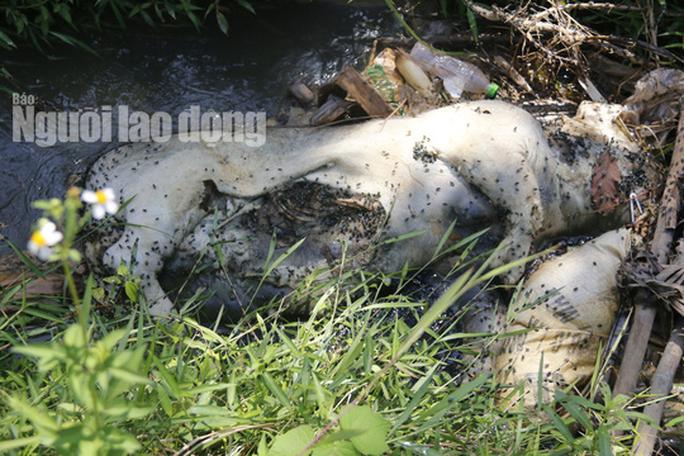 Quảng Nam: Giữa mùa dịch, xác heo thối vứt đầy kênh - Ảnh 15.
