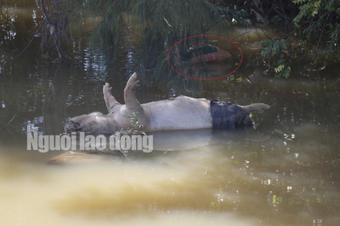 Quảng Nam: Giữa mùa dịch, xác heo thối vứt đầy kênh - Ảnh 1.