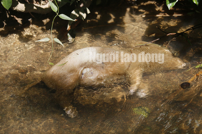 Quảng Nam: Giữa mùa dịch, xác heo thối vứt đầy kênh - Ảnh 7.