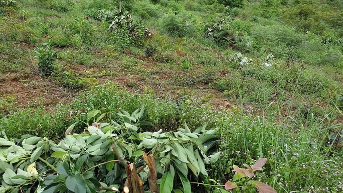 Xót xa hàng trăm cây bơ ghép bị kẻ xấu chặt hạ ngang thân - Ảnh 4.