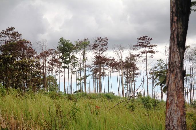 Rừng thông Lâm Đồng tiếp tục bị đầu độc, chết đứng - Ảnh 2.