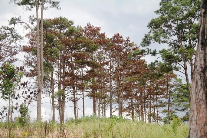 Rừng thông Lâm Đồng tiếp tục bị đầu độc, chết đứng - Ảnh 3.