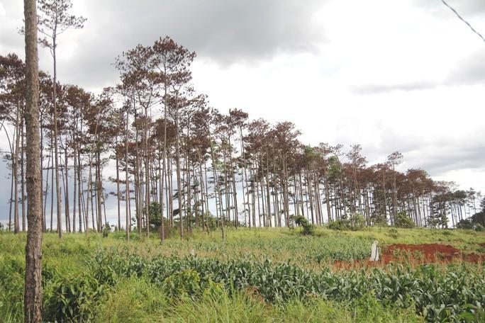 Rừng thông Lâm Đồng tiếp tục bị đầu độc, chết đứng - Ảnh 7.
