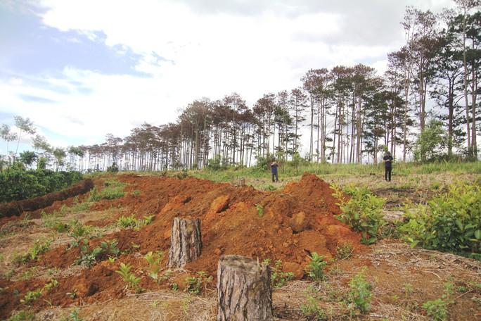 Rừng thông Lâm Đồng tiếp tục bị đầu độc, chết đứng - Ảnh 9.