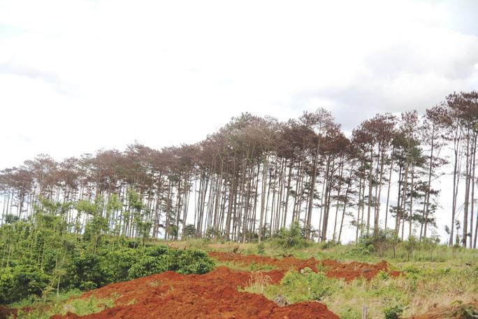 Rừng thông Lâm Đồng tiếp tục bị đầu độc, chết đứng - Ảnh 11.