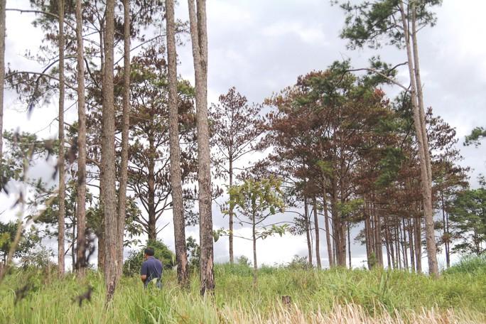 Rừng thông Lâm Đồng tiếp tục bị đầu độc, chết đứng - Ảnh 14.