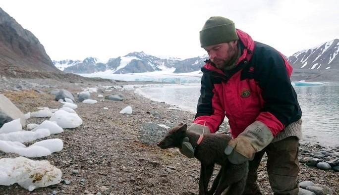 Cáo Bắc cực vượt 4.415 km tìm nơi sinh sản - Ảnh 1.