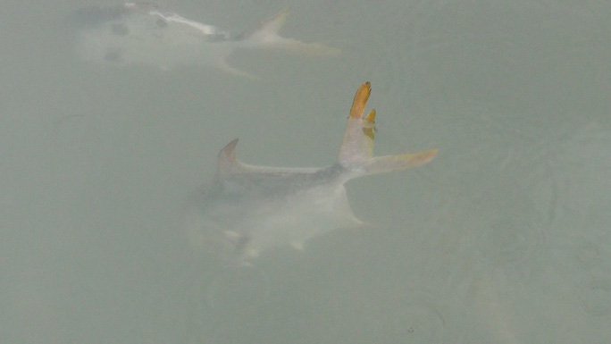 Nguyên nhân cá ở Long Sơn chết hàng loạt là do nhiễm ký sinh trùng quả dưa - Ảnh 5.