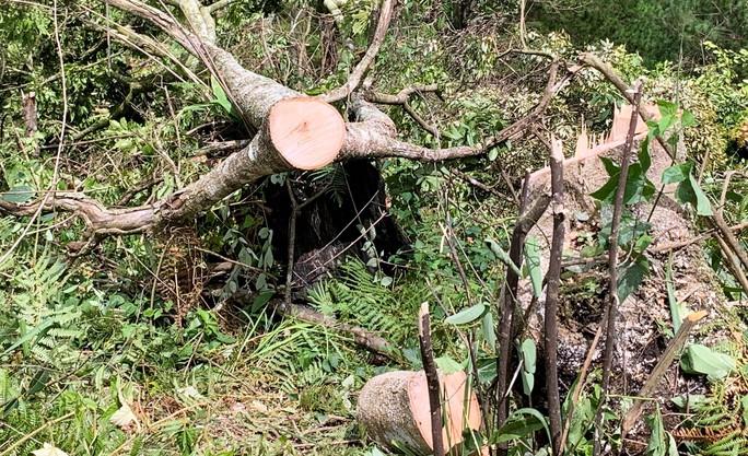 Ngang nhiên triệt hạ rừng phòng hộ chỉ cách Đà Lạt 5 km - Ảnh 2.