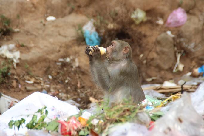 Chùm ảnh: Ngắm hành trình kiếm ăn của đàn khỉ xóm chùa trên núi Sơn Trà - Ảnh 6.