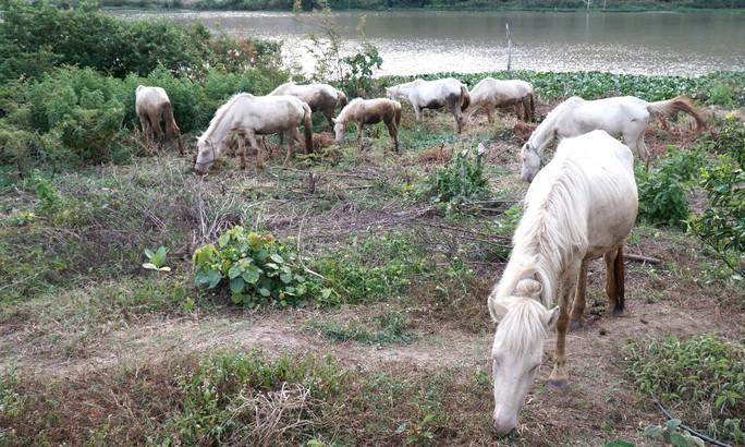Đàn ngựa bạch trên ốc đảo Ia Rsai  - Ảnh 4.