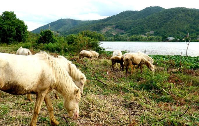 Đàn ngựa bạch trên ốc đảo Ia Rsai  - Ảnh 5.