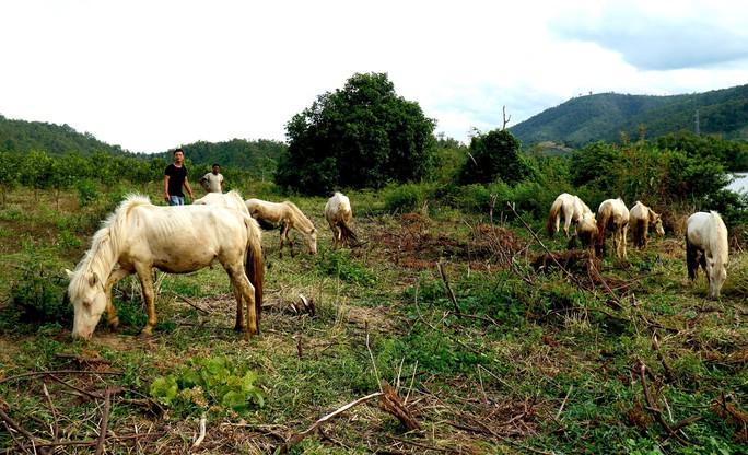 Đàn ngựa bạch trên ốc đảo Ia Rsai  - Ảnh 6.