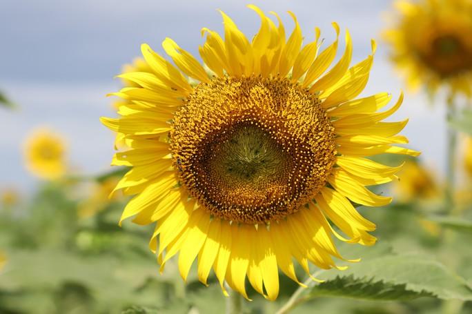 Phát sốt với vườn hoa hướng dương mới xuất hiện ở Quảng Nam - Ảnh 6.
