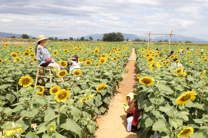 Phát sốt với vườn hoa hướng dương mới xuất hiện ở Quảng Nam - Ảnh 13.
