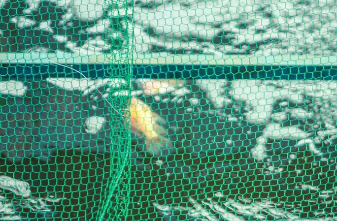 Clip: Đàn cá Koi Nhật Bản bơi chậm chạp sau 3 ngày thả xuống nước được xử lý ở sông Tô Lịch - Ảnh 10.