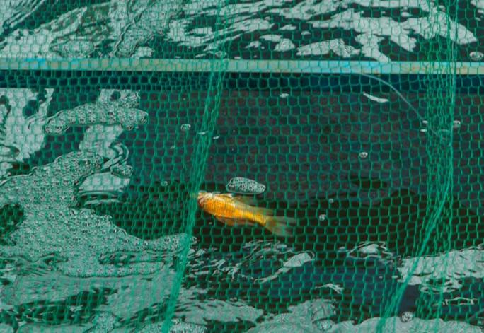 Clip: Đàn cá Koi Nhật Bản bơi chậm chạp sau 3 ngày thả xuống nước được xử lý ở sông Tô Lịch - Ảnh 11.