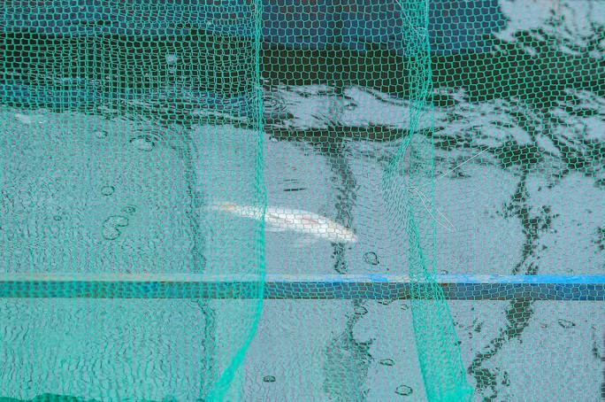 Clip: Đàn cá Koi Nhật Bản bơi chậm chạp sau 3 ngày thả xuống nước được xử lý ở sông Tô Lịch - Ảnh 2.