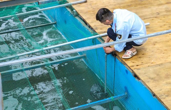 Clip: Đàn cá Koi Nhật Bản bơi chậm chạp sau 3 ngày thả xuống nước được xử lý ở sông Tô Lịch - Ảnh 3.