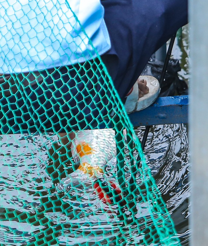 Clip: Đàn cá Koi Nhật Bản bơi chậm chạp sau 3 ngày thả xuống nước được xử lý ở sông Tô Lịch - Ảnh 5.