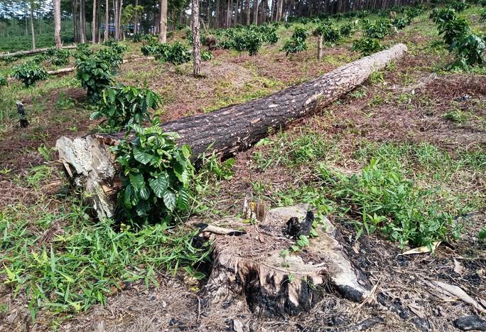 Xót xa cận cảnh rừng thông 30 năm tuổi bị đốt gốc, gọt thân bức tử chết đứng - Ảnh 3.