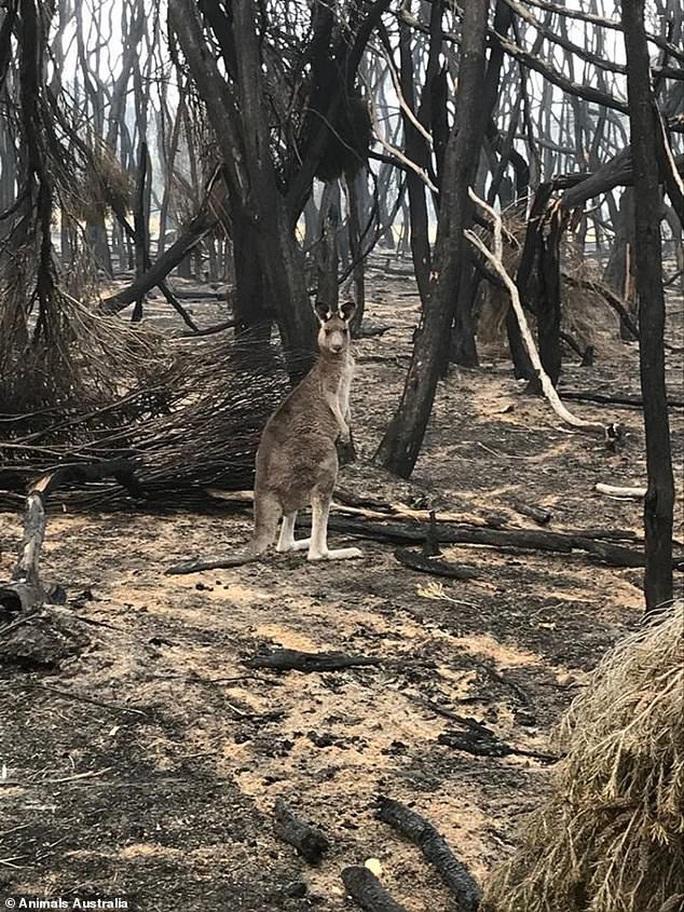 Úc: Mưa cà rốt và khoai lang cứu đói động vật bị cháy rừng - Ảnh 11.