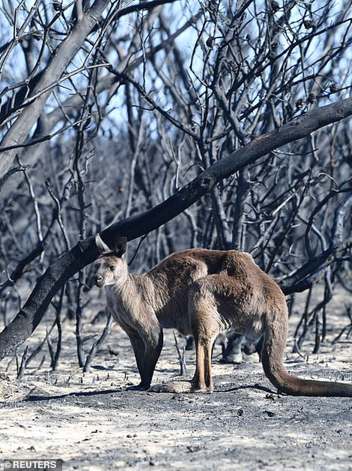 Úc: Động vật trên đảo quý hiếm Kangaroo bị tàn sát - Ảnh 2.