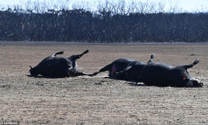 Úc: Động vật trên đảo quý hiếm Kangaroo bị tàn sát - Ảnh 3.