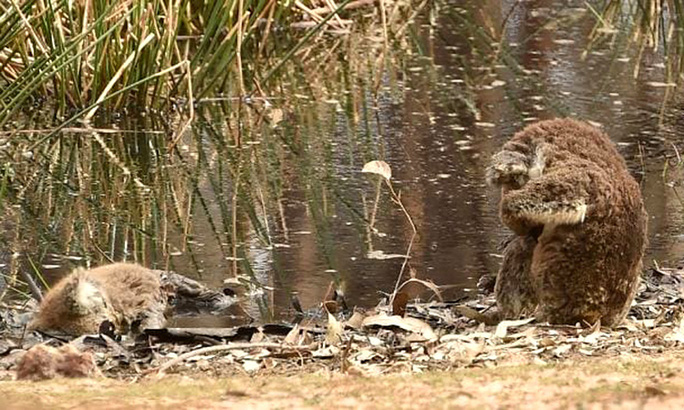 Se sắt cõi lòng chứng kiến koala ôm mặt bên xác đồng loại - Ảnh 1.