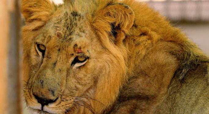 Sudan: Những bộ xương sư tử châu Phi di động, vì đâu nên nỗi? - Ảnh 3.