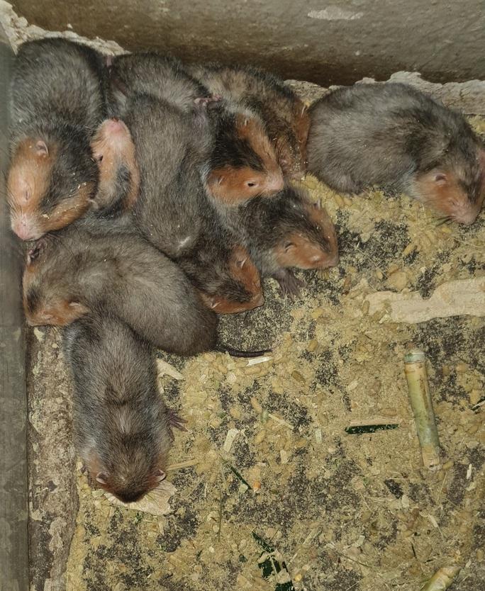 """CLIP: Bí quyết """"hốt bạc"""" từ việc nuôi chuột tre ở đồng bằng - Ảnh 6."""