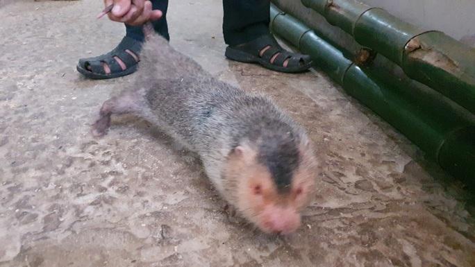 """CLIP: Bí quyết """"hốt bạc"""" từ việc nuôi chuột tre ở đồng bằng - Ảnh 7."""