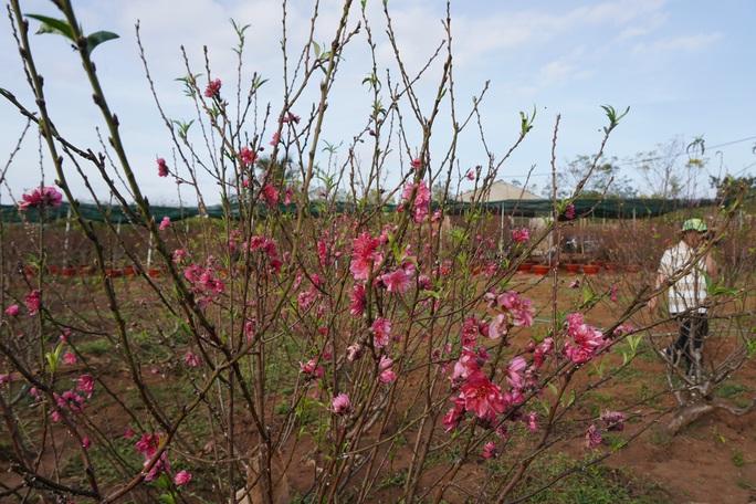 Ngỡ ngàng vườn đào miền bắc trồng trên Tây Nguyên - Ảnh 6.
