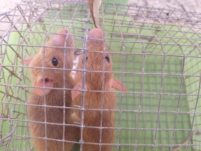CLIP: Nông dân Cà Mau bắt được cặp chuột lông vàng lạ mắt ngày cuối năm - Ảnh 6.