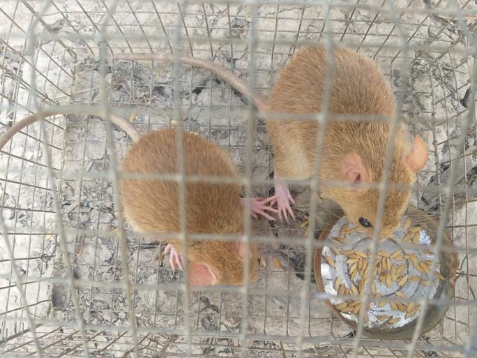 CLIP: Nông dân Cà Mau bắt được cặp chuột lông vàng lạ mắt ngày cuối năm - Ảnh 8.