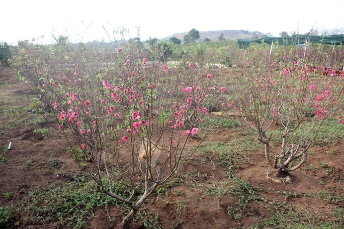Ngỡ ngàng vườn đào miền bắc trồng trên Tây Nguyên - Ảnh 5.