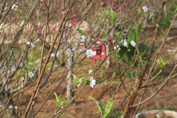 Ngỡ ngàng vườn đào miền bắc trồng trên Tây Nguyên - Ảnh 3.