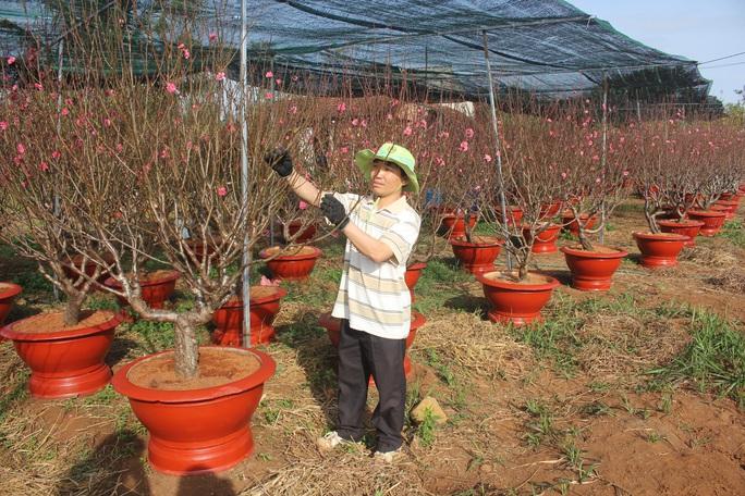 Ngỡ ngàng vườn đào miền bắc trồng trên Tây Nguyên - Ảnh 2.