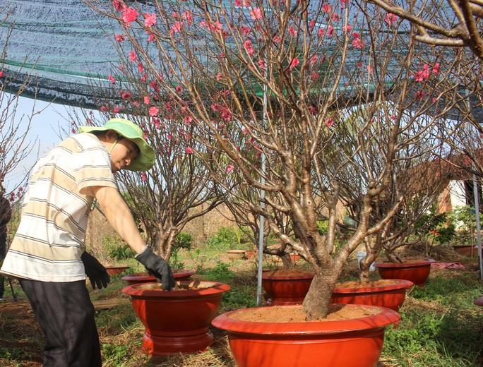 Ngỡ ngàng vườn đào miền bắc trồng trên Tây Nguyên - Ảnh 4.