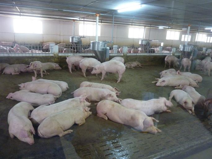 Các đại gia chăn nuôi vượt qua cơn bão dịch tả heo châu Phi như thế nào? - Ảnh 2.