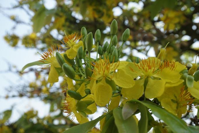 Ngắm hàng loạt cây mai cổ nở hoa vàng rực - Ảnh 5.