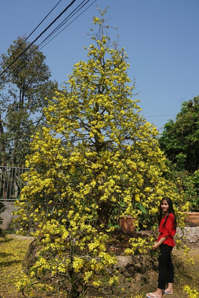 Ngắm hàng loạt cây mai cổ nở hoa vàng rực - Ảnh 6.
