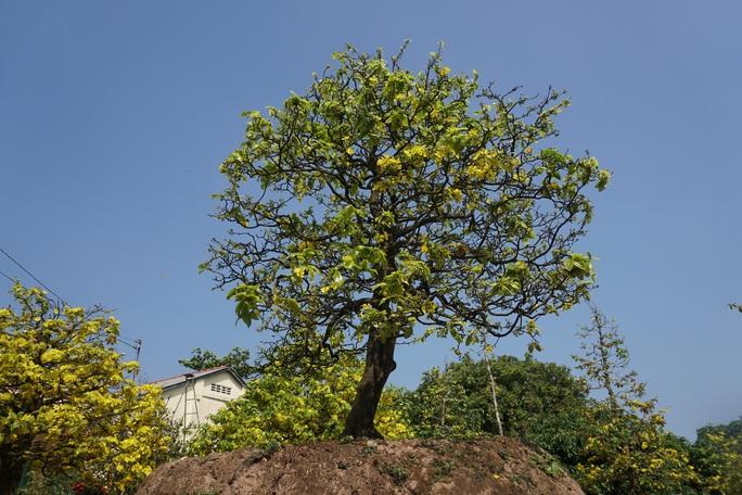Ngắm hàng loạt cây mai cổ nở hoa vàng rực - Ảnh 3.